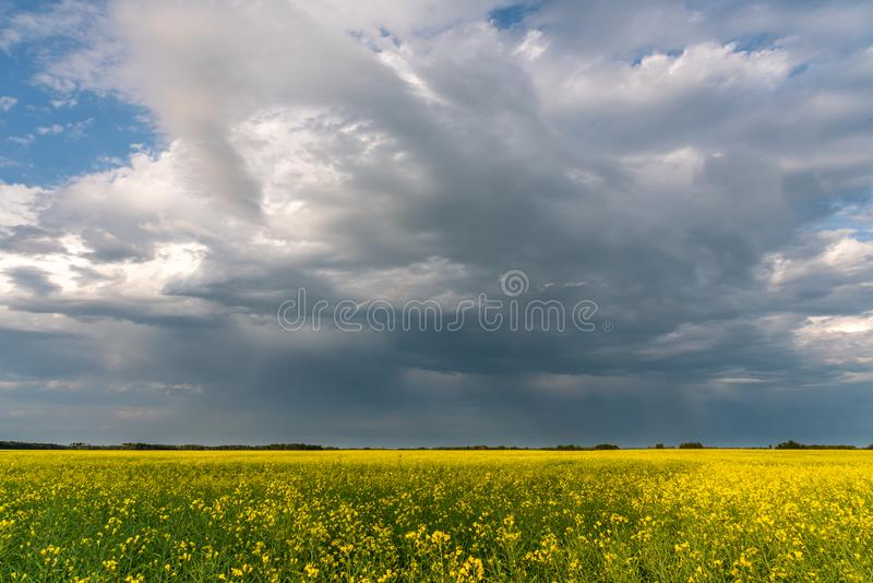Prairie storms sweep over canola fields. Prairie storms sweep over blooming canola fields in rural Canada royalty free stock images