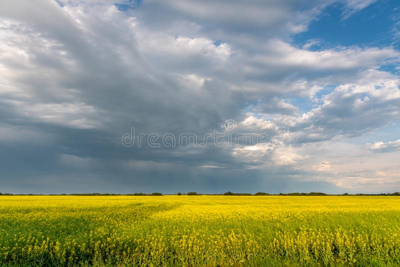 Prairie storms sweep over canola fields. Prairie storms sweep over blooming canola fields in rural Canada royalty free stock photos