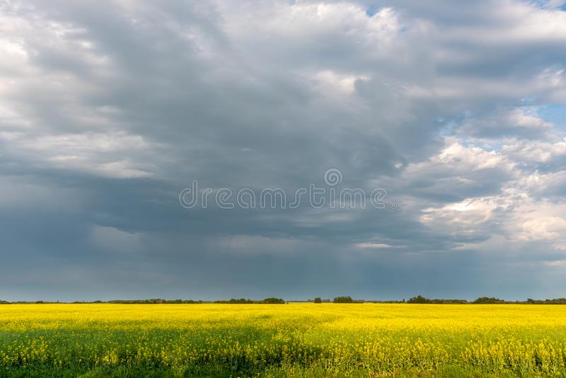 Prairie storms sweep over canola fields. Prairie storms sweep over blooming canola fields in rural Canada royalty free stock image