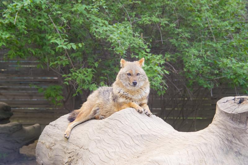 Coyote resting and looking royalty free stock image