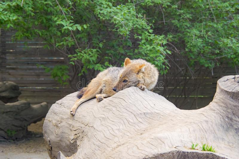 Coyote resting and looking stock images