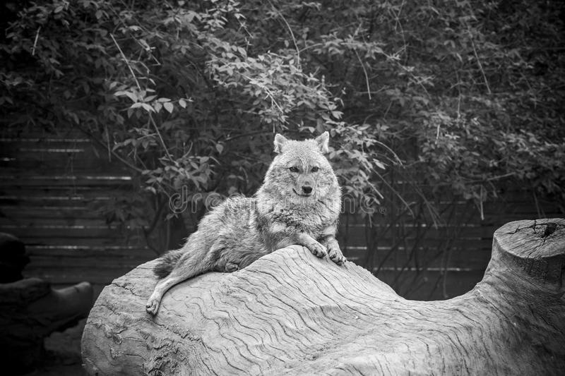 Coyote resting and looking stock photo