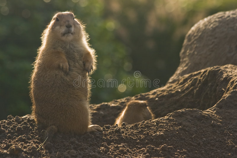 Prairiedogs. Working and standing straight looking around royalty free stock photo