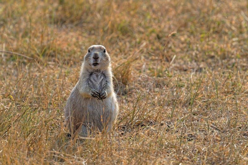 Prairiehond die de camera bekijken royalty-vrije stock afbeeldingen