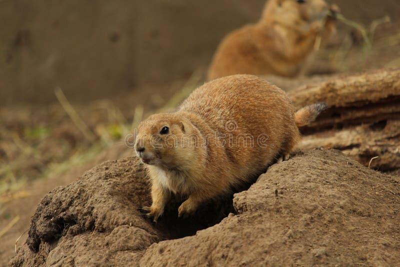 Prairiehond die zich bovenop hol bevinden royalty-vrije stock afbeelding