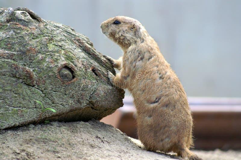 prairiehond in dierentuin stock afbeeldingen