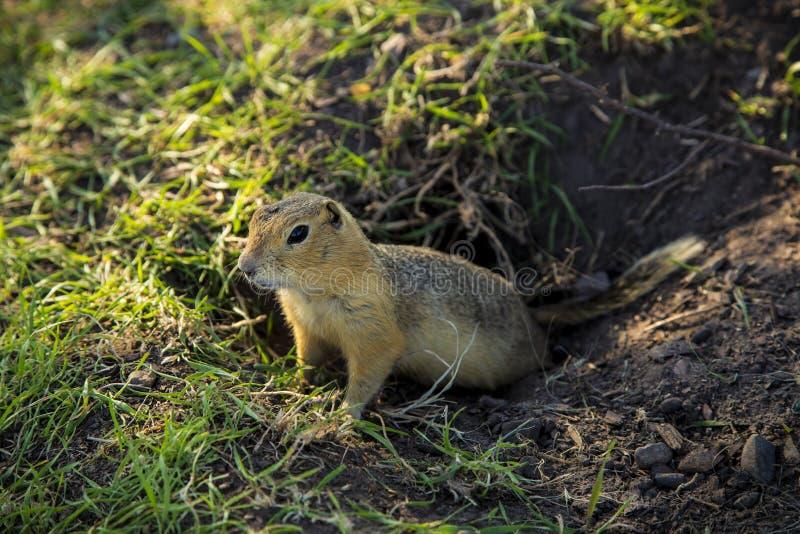 Prairiehond in gat royalty-vrije stock afbeelding