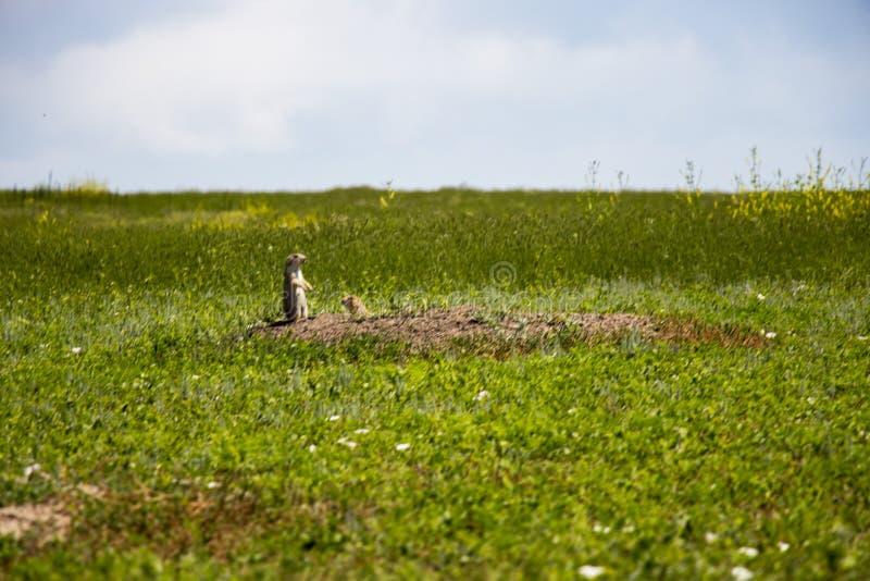 Prairiehond in het gras royalty-vrije stock afbeeldingen