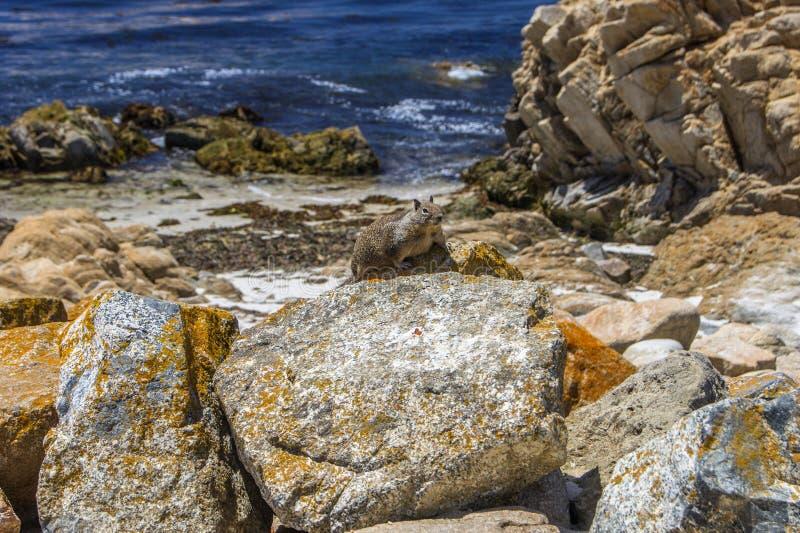 Prairiehond, Monterey stock afbeelding