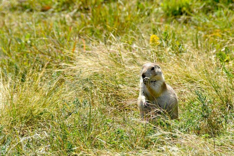 Prairiehond op een gebied van groen gras stock foto