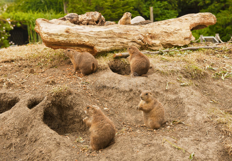 Prairiehonden stock afbeelding
