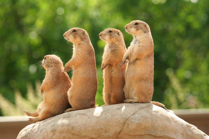 Prairiehonden op rots royalty-vrije stock foto's