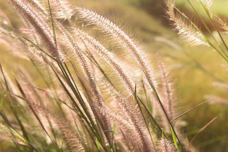 Prairies et coucher du soleil d'herbe image stock