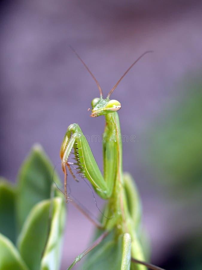 praiyng mantis stock photo