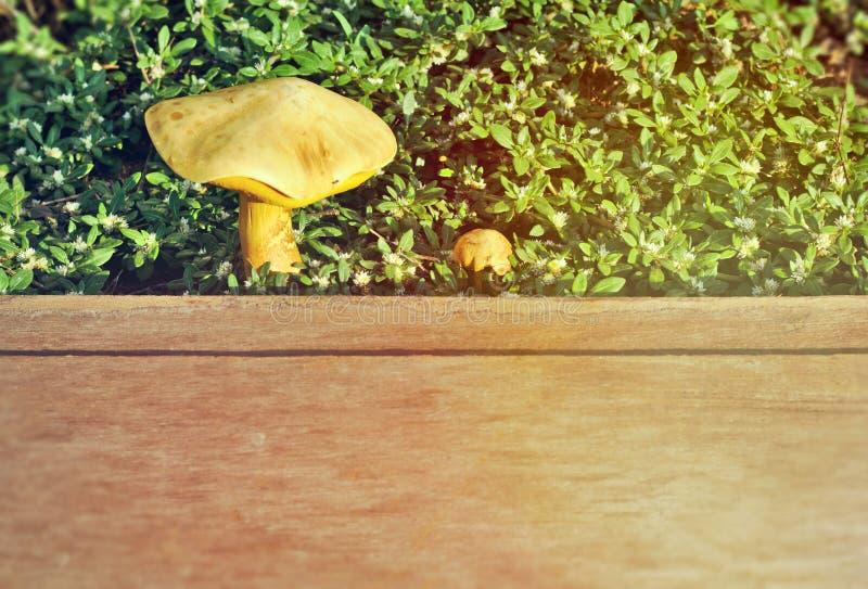 Prancha velha na grama, grama branca pequena, cogumelo do boleto no assoalho de madeira, cogumelos do outono no assoalho de madei imagens de stock