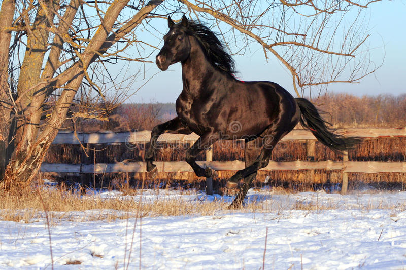 Prancing black stallion royalty free stock photography