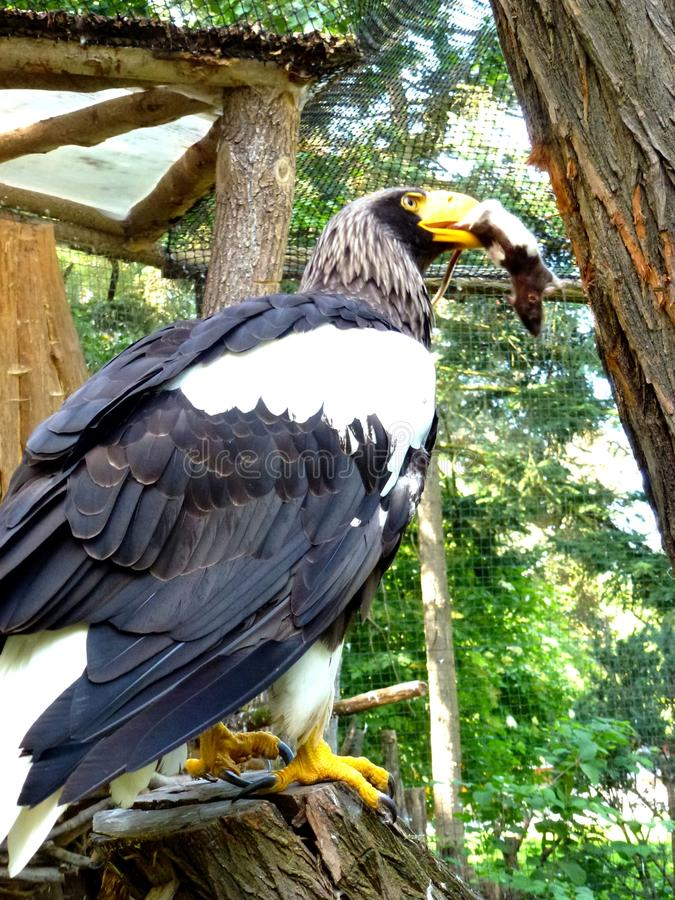Pranzo del ` s di Eagle immagine stock