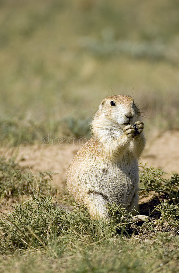Prarie Dog stock images