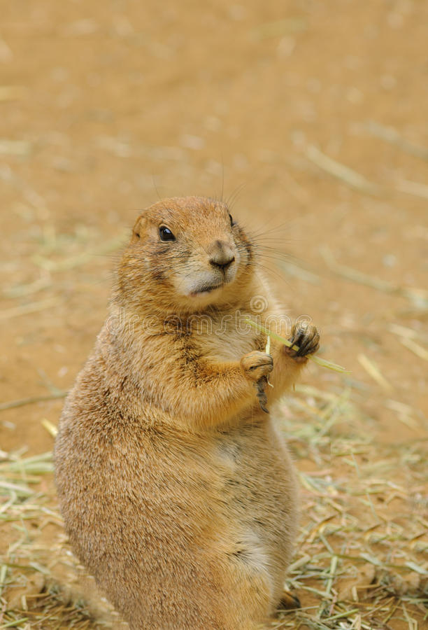 Prarie dog stock photography