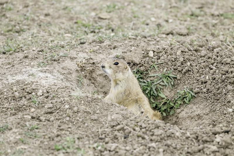 Prarie Dog In It`s Hole stock photography