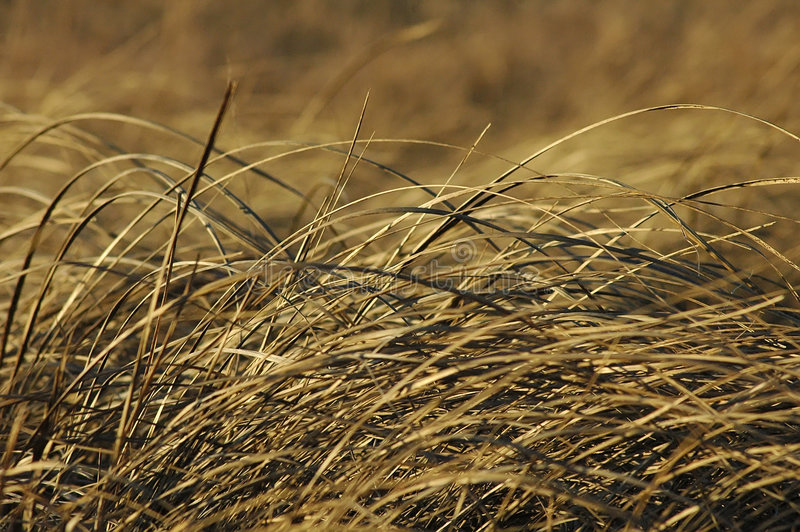 Download Prarie Grass stock photo. Image of nature, golden, natural - 3664818