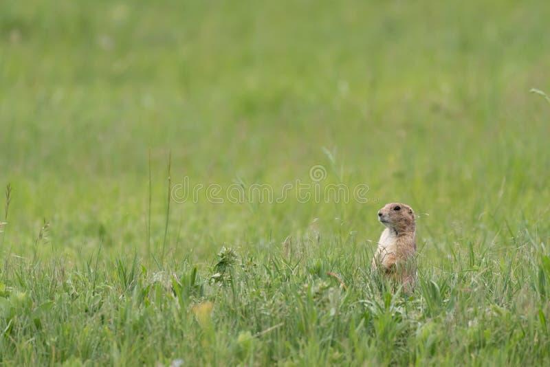 Prarie-Hundest?nde an der Aufmerksamkeit im hohen Gras lizenzfreie stockfotografie