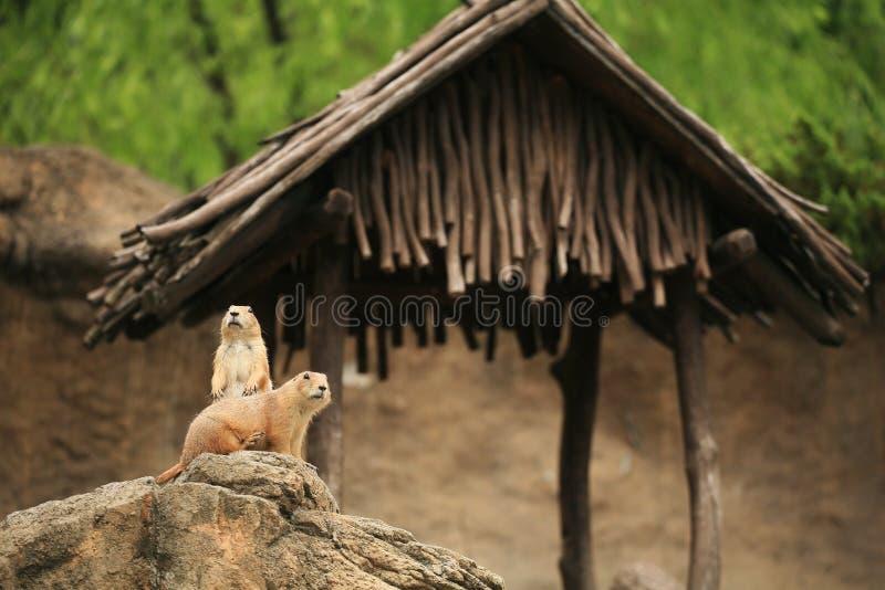 prariehundkapplöpningpar som omkring ser arkivbilder