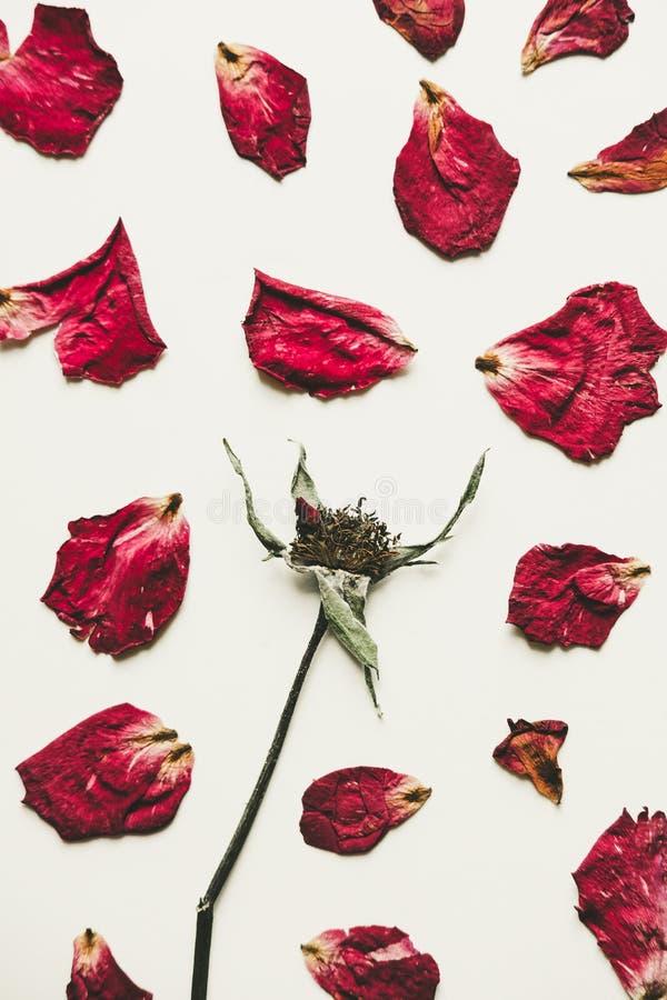Prasa suszący róża kwiat z płatkami, na białym papierze, rocznika brzmienie zdjęcia royalty free