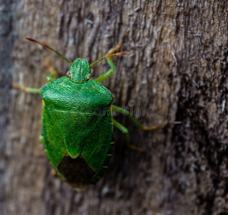 Prasina Shieldbug verde comune di Palomena fotografia stock