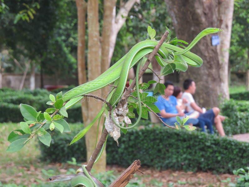 Prasinus Ahaetulla Хлыст зеленого цвета змейки Несколько индивидуалов на ветви Зоопарк во Вьетнаме стоковое фото