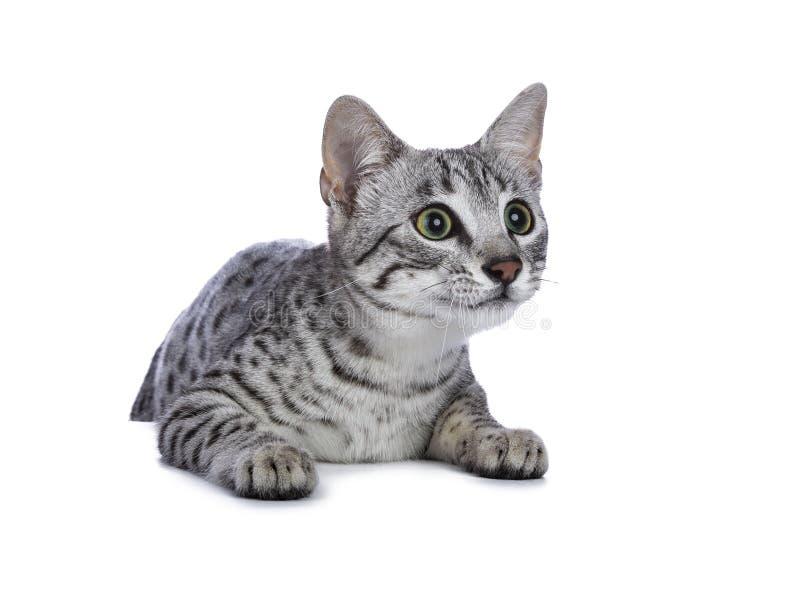 Prata bonito assento manchado muito focalizado do gatinho do gato de Mau do egípcio/que pendura sobre a borda isolada no fundo br imagem de stock royalty free