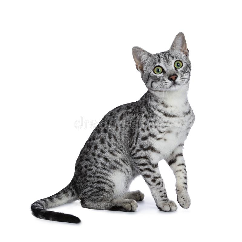 Prata bonito gatinho manchado do gato de Mau do egípcio que senta-se com a uma pata no ar isolado no fundo branco e que olha acim fotos de stock