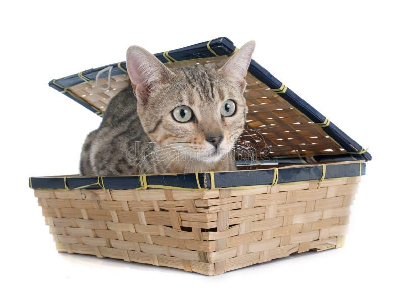 Prata do gato de Bengal fotos de stock royalty free