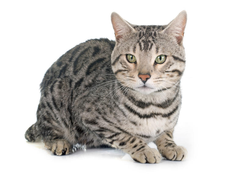 Prata do gato de Bengal foto de stock royalty free