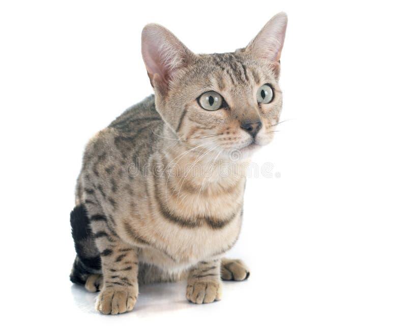 Prata do gato de Bengal imagem de stock royalty free