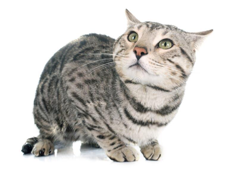 Prata do gato de Bengal imagens de stock