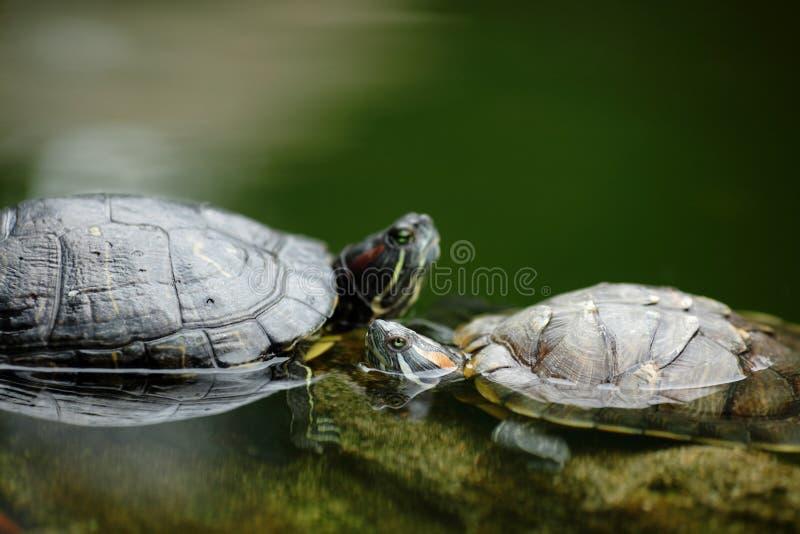 prata sköldpadda royaltyfria bilder