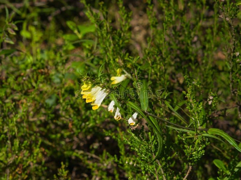 Pratense comum de Melampyrum do Vaca-trigo, close-up da flor, foco seletivo, DOF raso imagem de stock