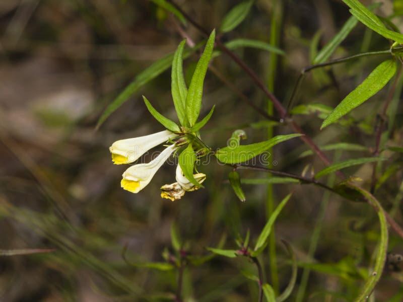 Pratense comum de Melampyrum do Vaca-trigo, close-up da flor, foco seletivo, DOF raso imagens de stock