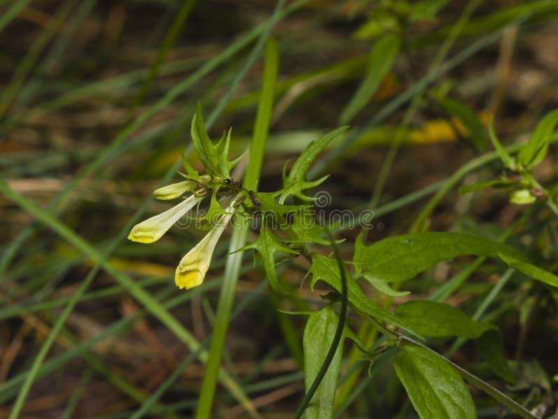 Pratense comum de Melampyrum do Vaca-trigo, close-up da flor, foco seletivo, DOF raso foto de stock