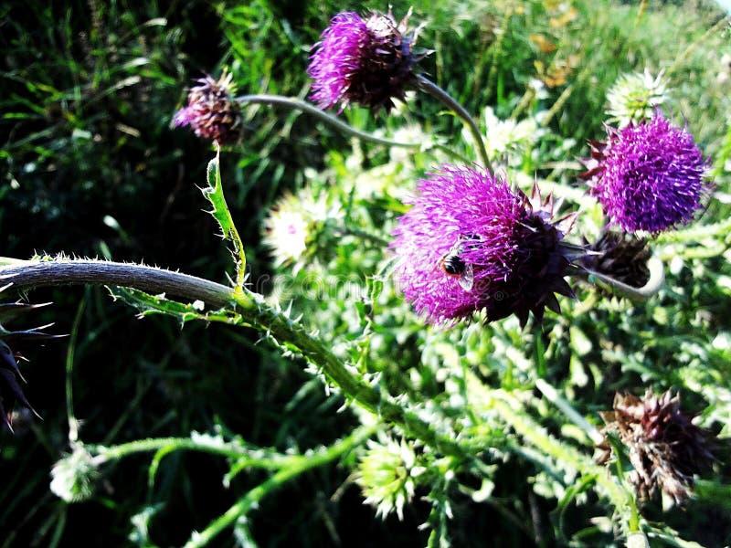Pratense de trifolium photos stock