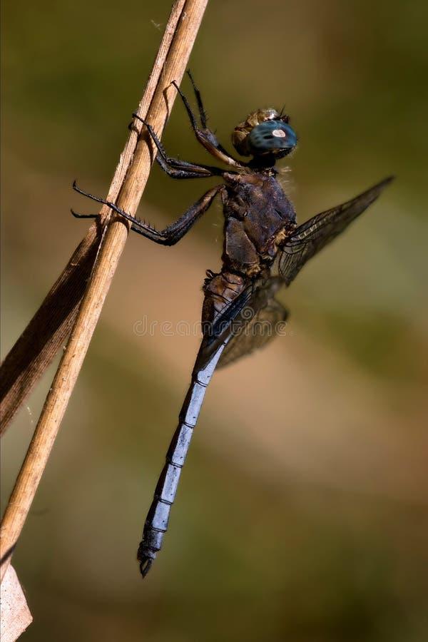Pratense del brachytron della libellula sopra fotografie stock libere da diritti