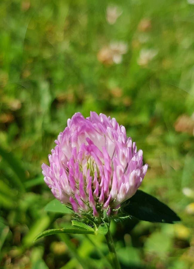 Pratense do Trifolium, o trevo vermelho Close up da flor fotografia de stock