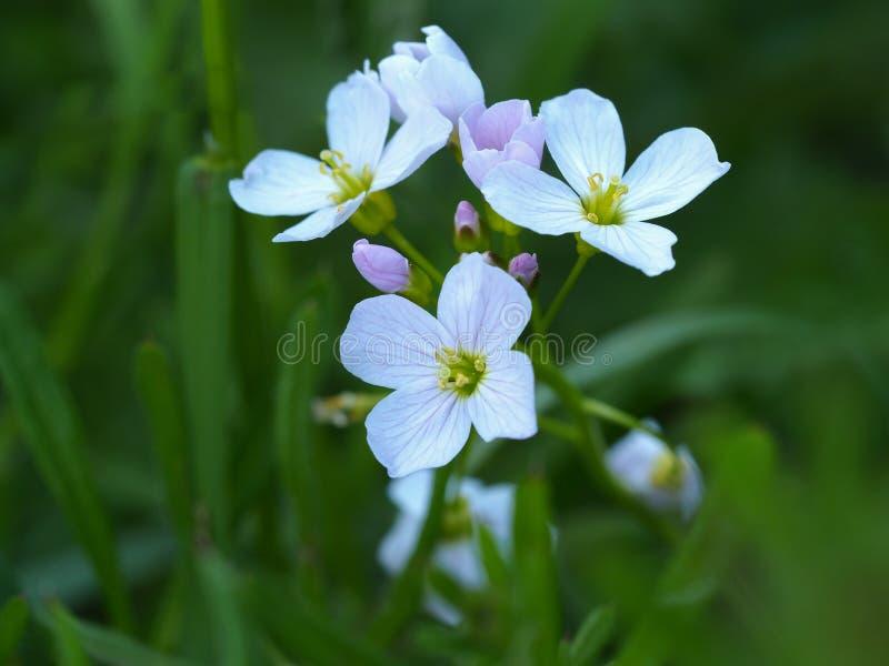 Pratensis Cardamine λουλουδιών κούκων στοκ εικόνες με δικαίωμα ελεύθερης χρήσης
