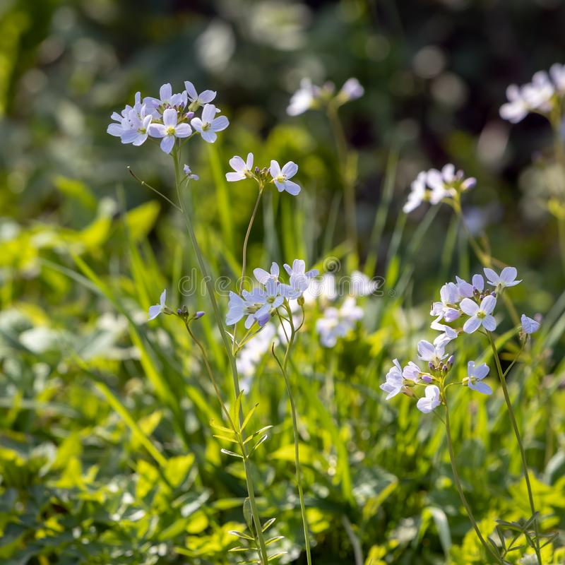 Pratensis Cardamine λουλουδιών κούκων που ανθίζει την άνοιξη την ηλιοφάνεια στ στοκ φωτογραφία με δικαίωμα ελεύθερης χρήσης