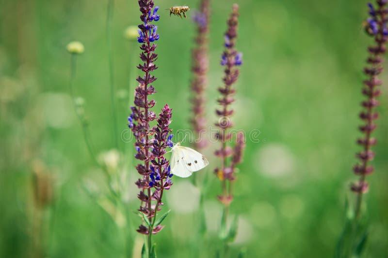 Pratensis de Salvia, fleurs bleues violettes de pré - blanc de chou images stock