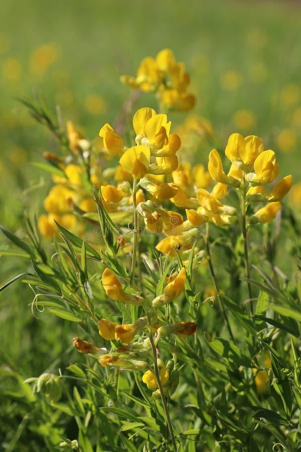 Pratensis Lathyrus Желтое peavine луга цветков на солнечный день стоковое фото