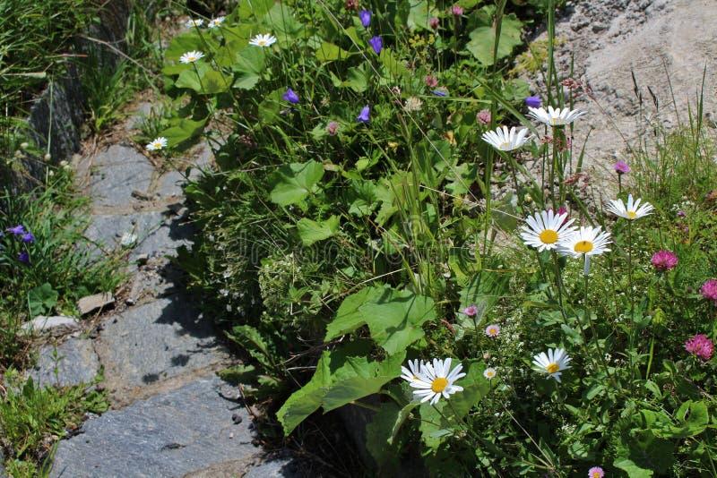 Prati del fiore sul Grossglockner fotografie stock libere da diritti