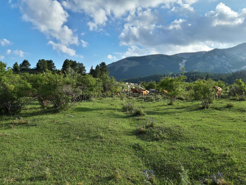 Prati di Ovindoli in Abruzzo, Italy.  Cows grazing in the nature.  Beautiful day in the green.  Blue sky with some clouds. royalty free stock image