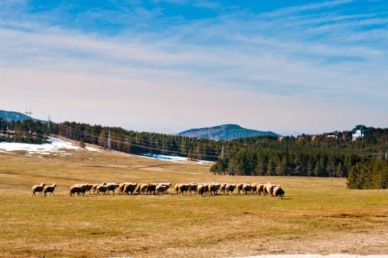 Prati di Zlatibor con le pecore fotografie stock libere da diritti